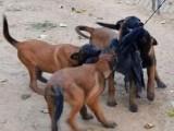 襄樊适合养殖马犬吗?马犬幼犬价格 马犬训练方法