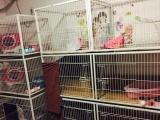 小贱猫舍专业繁殖英国短毛猫