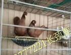鸽子通辽价格如何(济宁市成宽特种养殖有限公司)