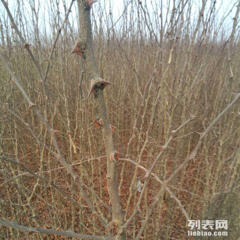 量优质花椒树,大樱桃树图片