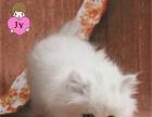 金吉拉 宠物猫咪 幼猫公母都有 实体店保障 金吉拉
