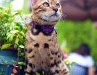 出售精品纯种孟加拉豹猫红金系玫瑰纹理活体幼崽