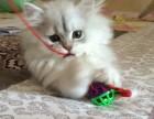 银色渐层金吉拉 猫咪出售纯种金吉拉幼猫/银色渐层猫
