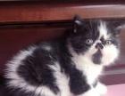 加菲猫扁脸猫呆萌可爱找新家