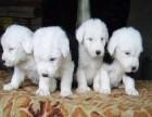 信誉服务 高端品质保障 纯种古代牧羊犬 常年有货