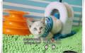 猫舍出售暹罗宝宝身体健康纯种品相好喜欢就联系我吧