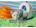 纯种健康的折耳宝宝出售了健康活泼的猫咪多只可选