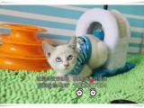 可爱的小精灵 暹罗猫 优雅健康完美可爱有证