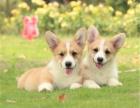 出售纯种高品质 柯基犬 健康可来基地挑选