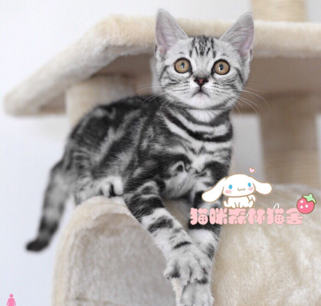 纯种虎斑猫出售 疫苗做齐 终身质保签协议