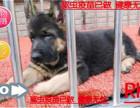 犬舍直销赛系德国牧羊犬/顶级种犬/名贵血统