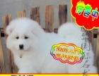 实物拍摄——精品萨摩耶犬——签订协议——质保终身