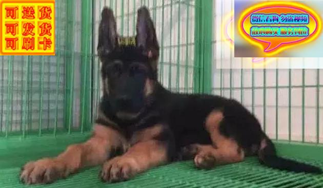 出售纯种德国牧羊犬纯种健康疫苗齐全包健康