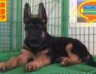 哪里有黑背犬出售 黑背犬多少钱一只 在哪里