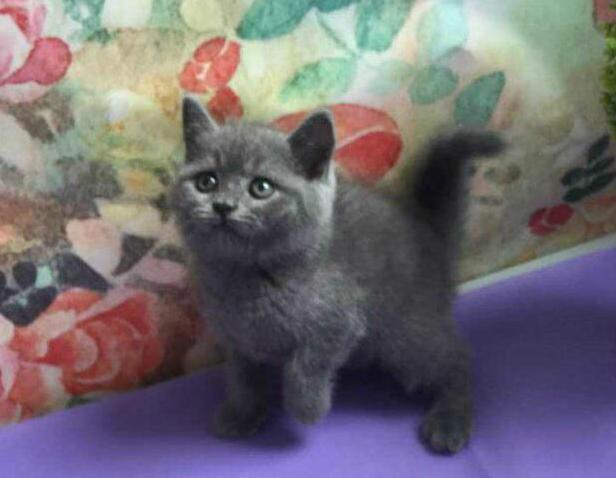 纯种大脸精致蓝猫出售 活泼可爱健康保障 疫苗已做