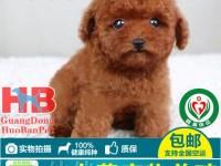 东莞哪里有卖泰迪熊 纯种泰迪熊多少钱 灰色泰迪熊