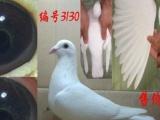 杨阿腾,土尼尔白信鸽,黄金甲信鸽