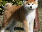 重庆秋田犬多少钱 重庆秋田犬哪家有纯种