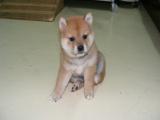 里有賣柴犬的 柴犬的價格樣 柴犬一般錢
