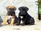 卡斯罗犬哪里有卖的卡斯罗幼犬好不好养