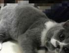 自己家养英短蓝白猫