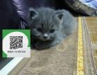 沈阳哪里有蓝猫出售 沈阳蓝猫价格 沈阳宠物猫转让出售