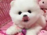 佛山市哪里卖白色博美 佛山市哪里卖的博美便宜 球体博美犬