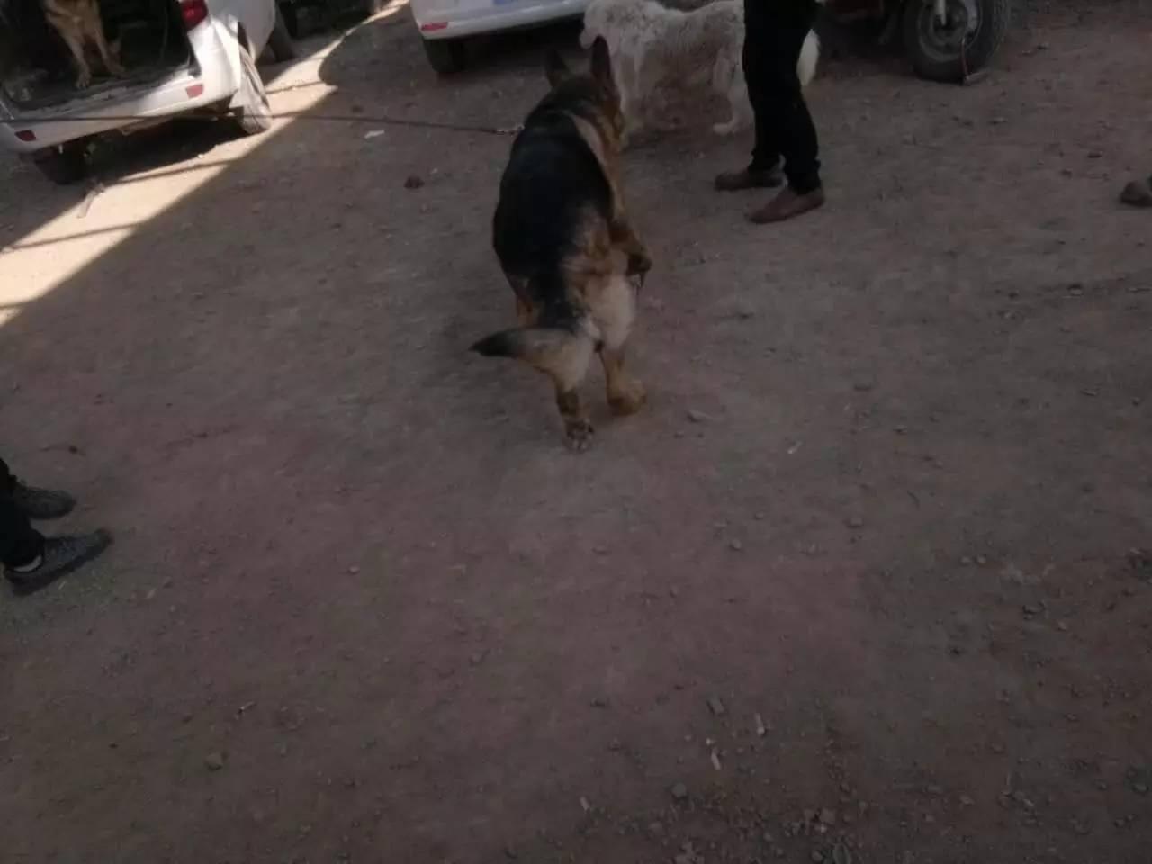 纯种德国牧羊犬品相一流 包健康 可签协议 上门看狗 视频看狗
