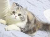 纯白高地活体矮脚曼基康幼猫长毛高地英短蓝白猫