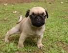 东莞本地狗场直销 纯种巴哥幼犬 包健康包三个月签协议