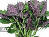 云南新鲜野菜血皮菜 紫背菜 有凉血去虚火 欢迎全国蔬菜批发
