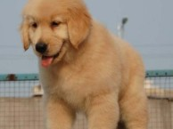 纯种金毛犬 金毛幼犬出售 金毛寻回犬 金毛狗 家庭犬宠物狗狗