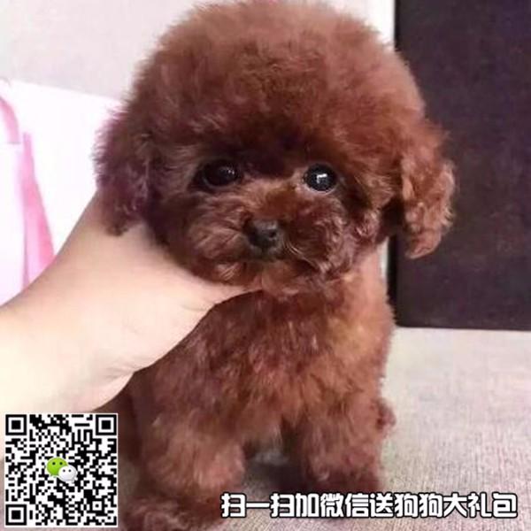 犬舍出售球形博美 小体泰迪 鹰版巴哥 法国卷毛比熊 签协议