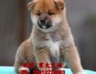 赛级柴犬幼犬 高品质日本柴犬 CKU血统京大犬业