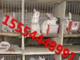 獭兔养殖场出售种兔 肉兔价格杂交野兔图片