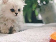 大连哪里有金吉拉猫卖 猫舍直销 健康活泼 包纯种 保养活