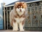 哈尔滨专业繁殖高品质巨型阿拉斯加幼犬出售纯血统