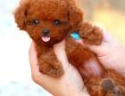 纯种健康泰迪熊幼犬出售 可见幼犬父母 签署保证协议