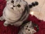 威海缅因猫大体型的霸气长毛猫 俄罗斯引进繁育