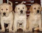 神犬小七导盲犬拉布拉多寻回犬幼犬金毛活体宠物狗狗