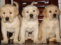 聪明可爱的拉布拉多幼犬出售啦 欢迎订购上门看狗