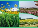2020一個賞萬畝油菜花 田園式野炊團建的農家樂大型基地