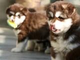 官方保障 犬舍繁殖阿拉斯加 包纯种健康养活 送货上门