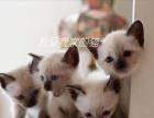 家养暹罗猫宝宝,个个健康漂亮