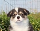 英国女皇的爱犬 威尔士柯基犬