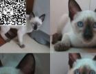 nbg暹罗猫高品质重点色 出售纯种宝石蓝眼睛暹罗猫特vvff