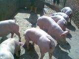 梧州三元猪长白仔猪小苗猪价格育肥小猪价