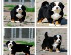 高端品质伯恩山犬多少钱 精品伯恩山犬价格 伯恩山犬繁殖