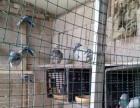 各种信鸽出售,凡龙,詹森,桑杰士,杨阿腾