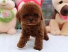 买狗送用品一套小体格小泰迪熊找粑粑麻麻啦